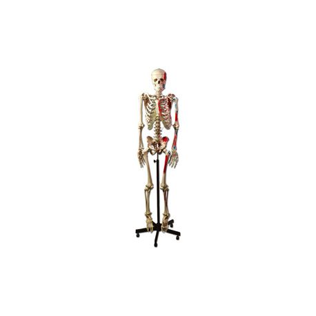 GIMA HUMAN MUSCULAR SKELETON
